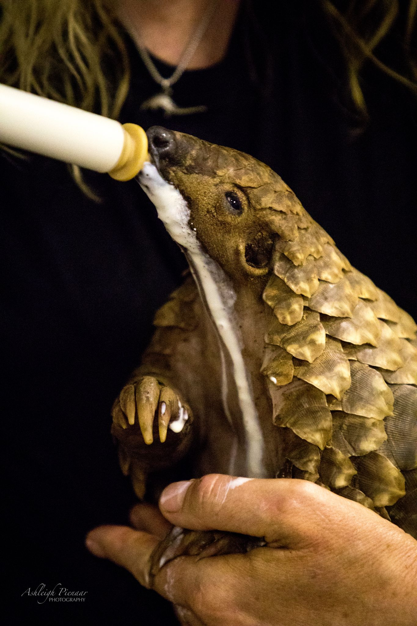 Verzorging van een pangolin -@visions_through_the_viewfinder Johannesburg Wildlife Vet