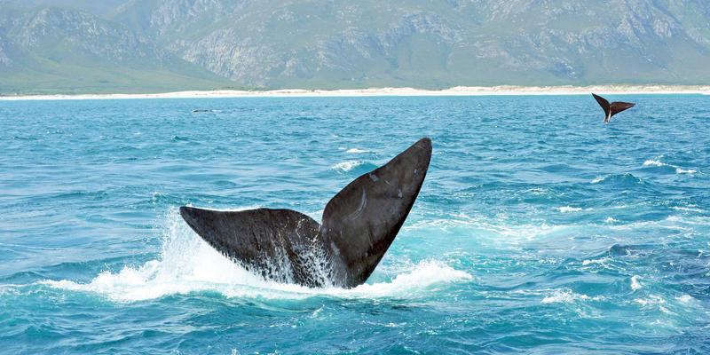 Walvissen voor de kust van Hermanus Zuid-Afrika (@iStock)
