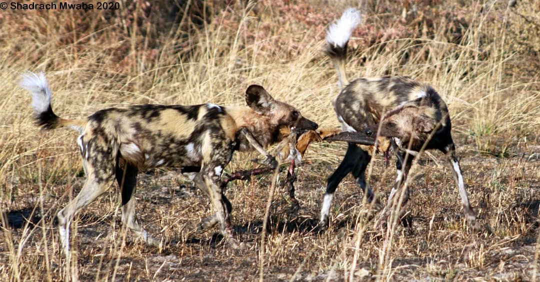 African Wild Dogs in Sioma Ngwezi National Park Zambia