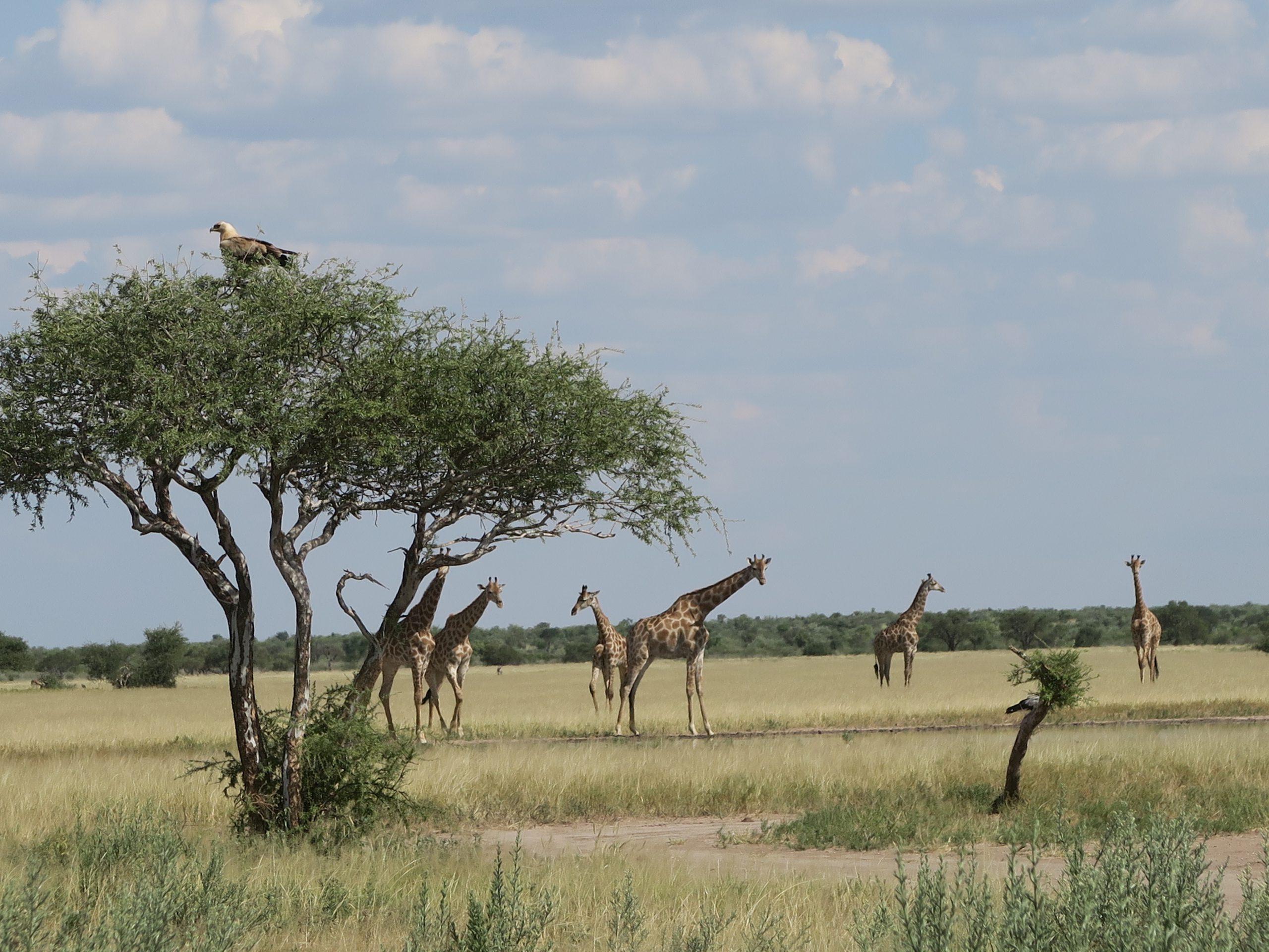 Giraffen in Khutse Game Reserve Botswana
