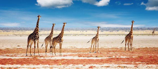Giraffen in Omaheke provincie Namibië