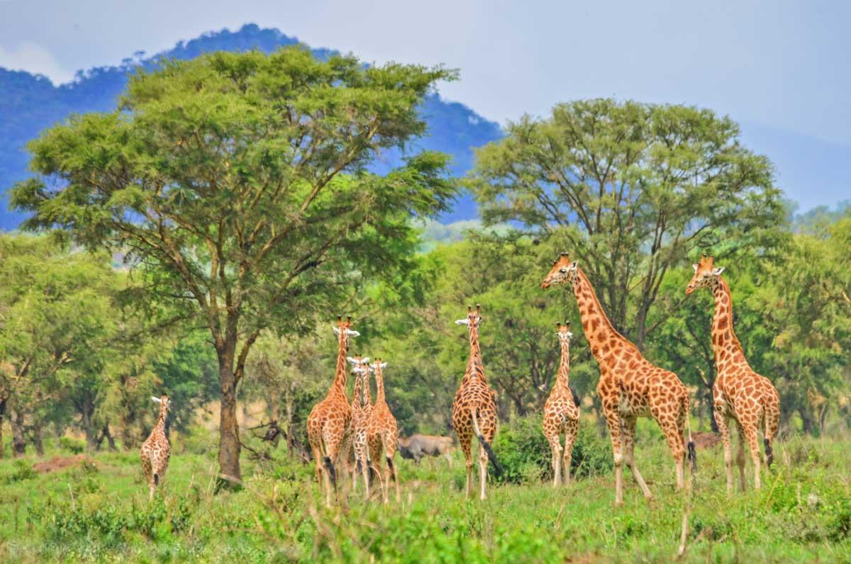 Giraffes in Kidepo National Park, Uganda