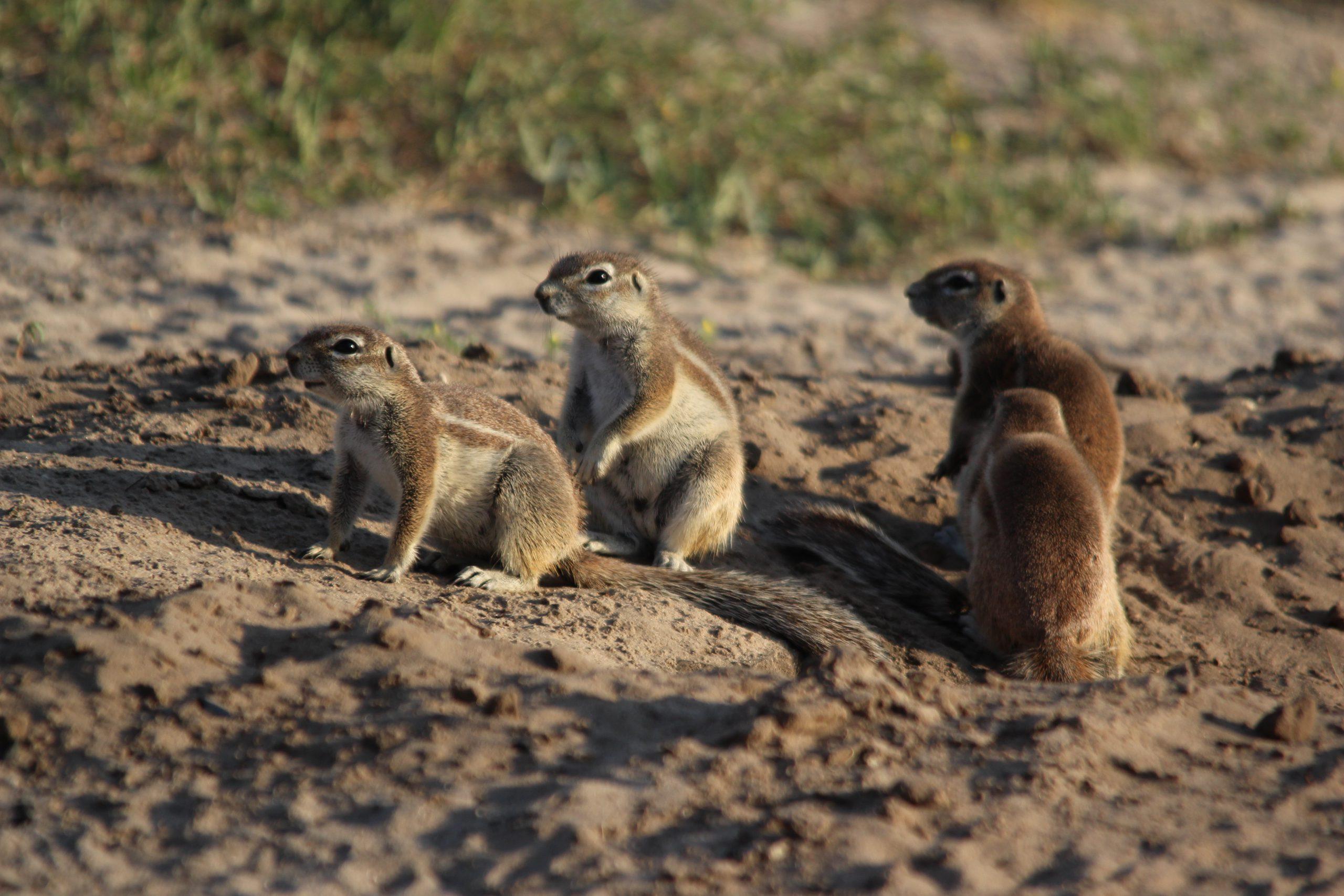 Grondeekhoorns in Khutse Game Reserve Botswana