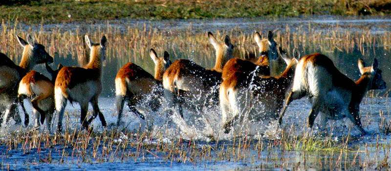 Kafue Lechwe in Lochinvar National Park Zambia