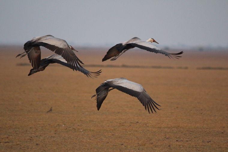Lake Bangweulu Wattled kraanvogels
