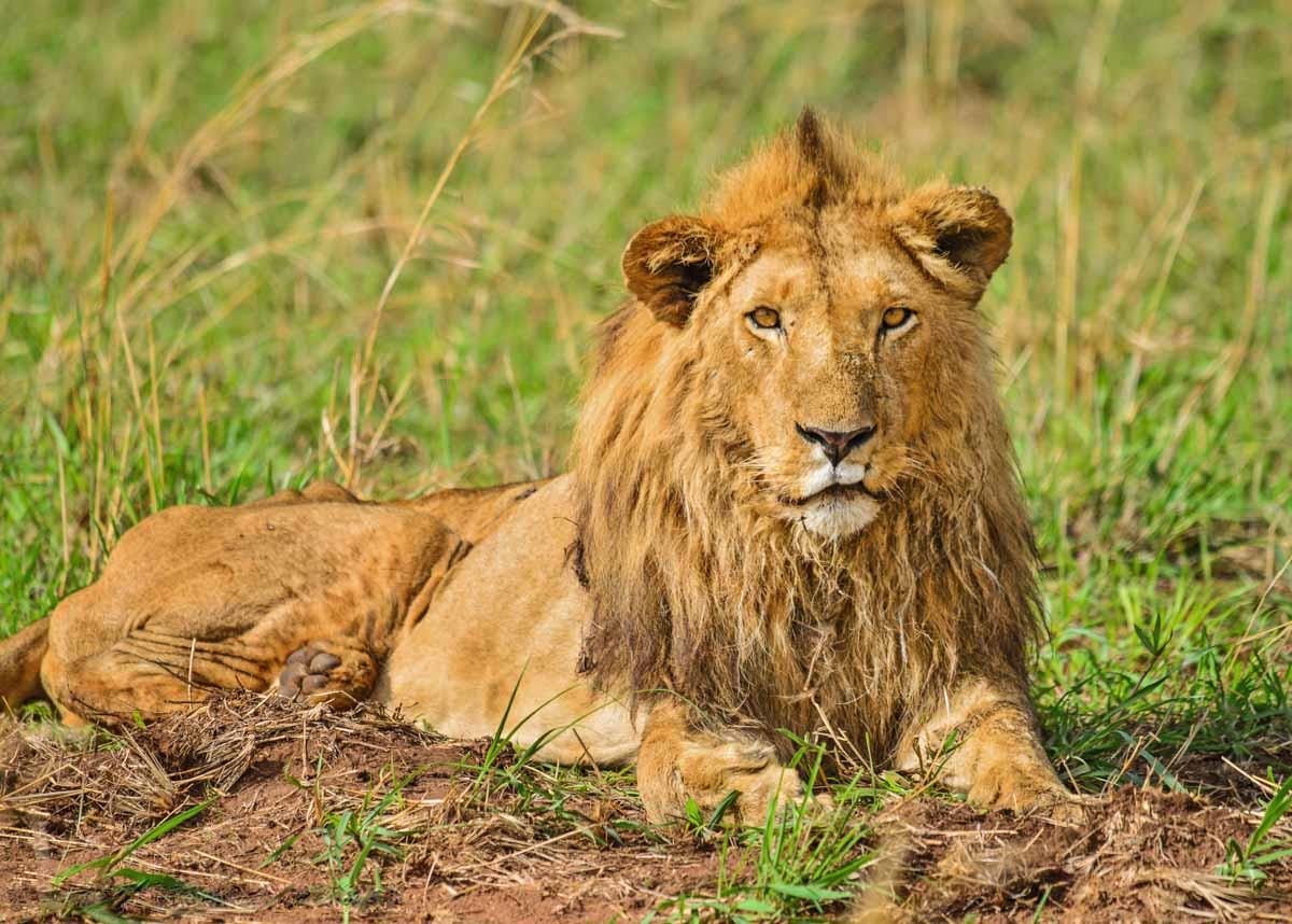 Leeuw in Kidepo National Park, Uganda