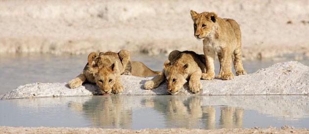 Leeuwen welpjes in Omaheke provincie Namibië