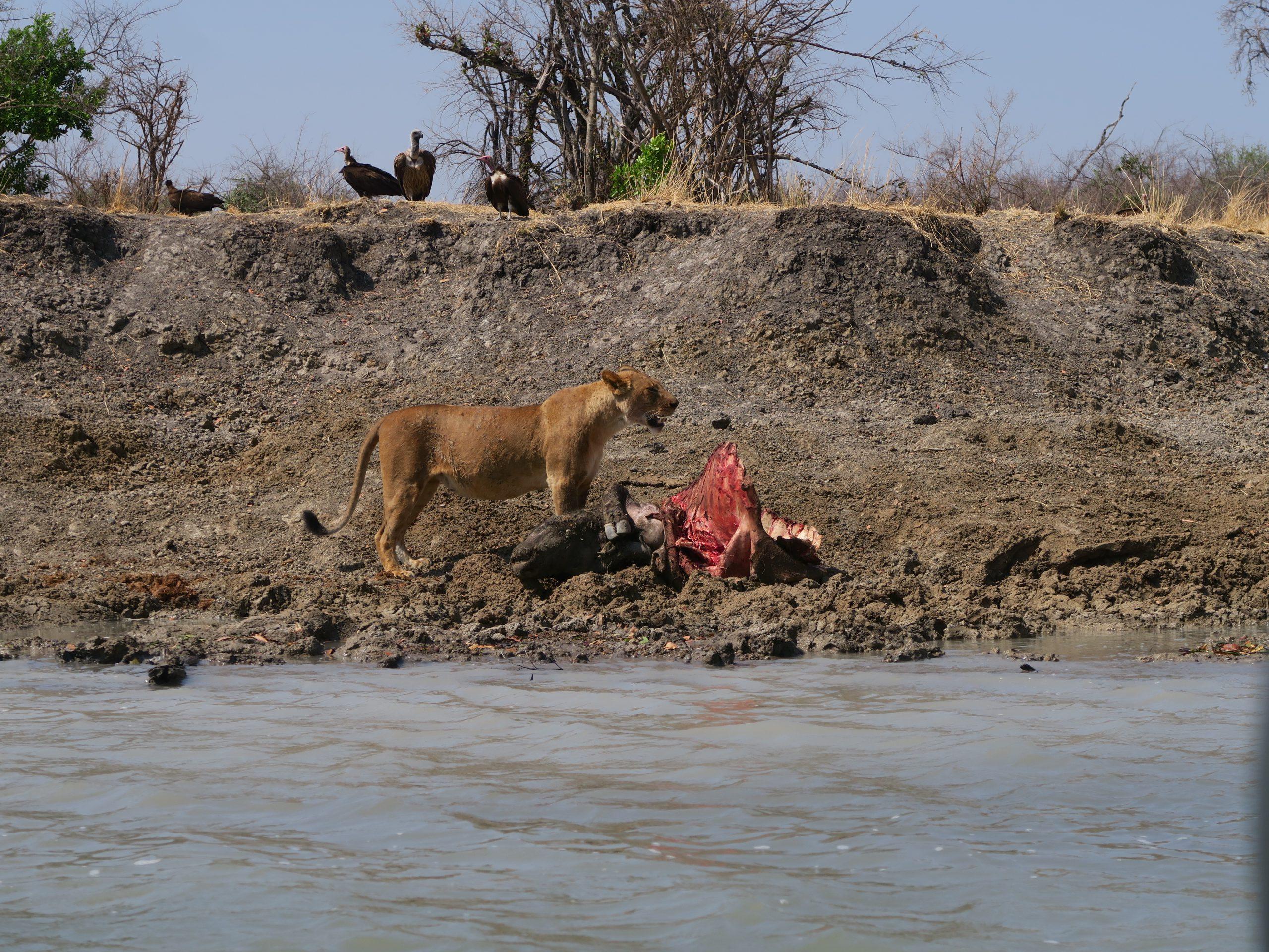 Leeuwin op over Kafue rivier Zambia