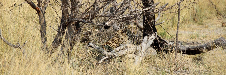 Luipaard in Mudumu National Park Namibië