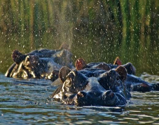 Nijlpaarden in Mamili National Park Namibië