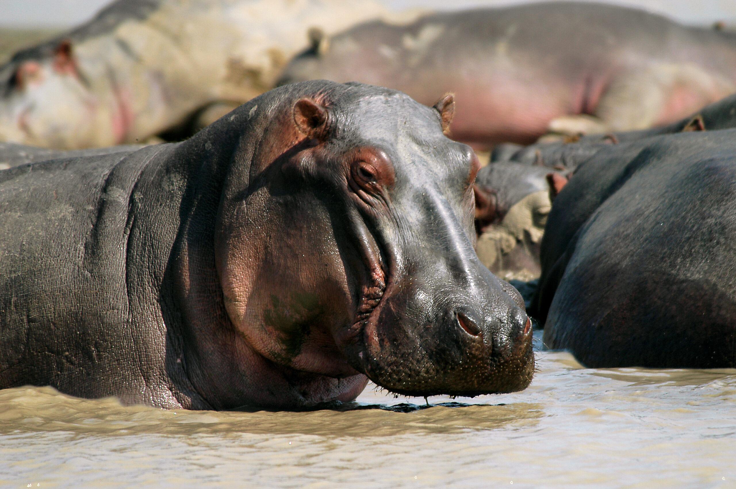 Nijlpaarden in Vwaza Marsh Wildlife Reserve Malawi