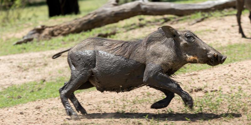 Wrattenzwijn in Gaborone Game Reserve Botswana