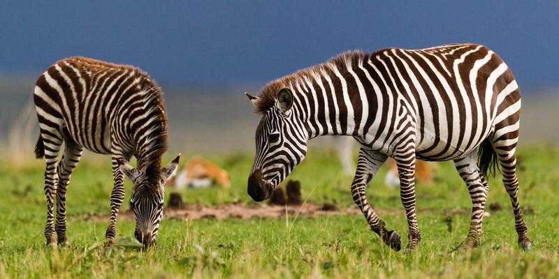 Zebra's in Mkomazi National Park Tanzania