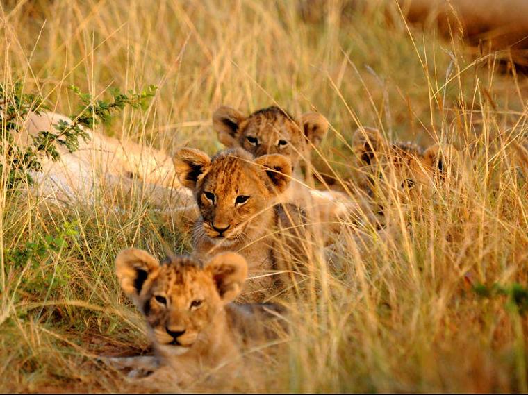 Leeuwen welpjes in Kariega Game Reserve Zuid-Afrika