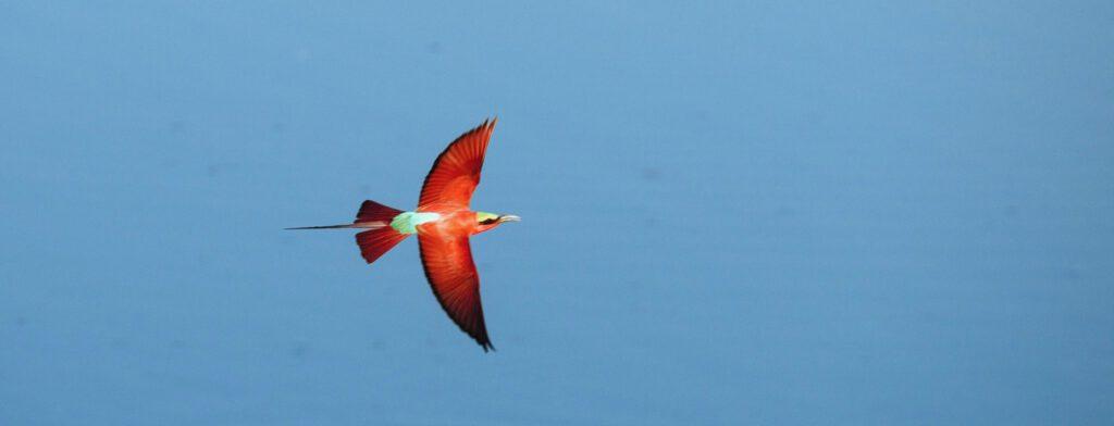 Carmine bee-eater boven Luangwa rivier in Zambia