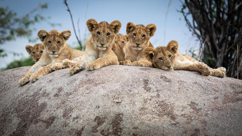 Leeuwen welpjes in Lamai Wedge Serengeti National Park Tanzania