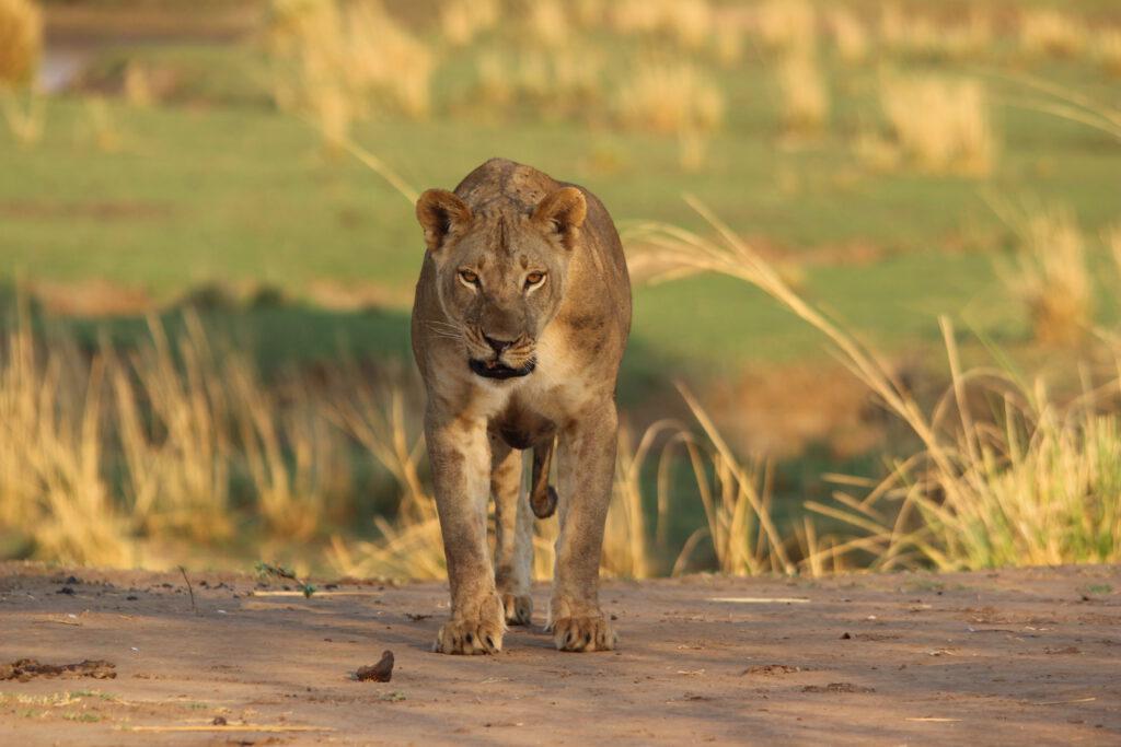 Leeuwin in Mana Pools National Park Zimbabwe
