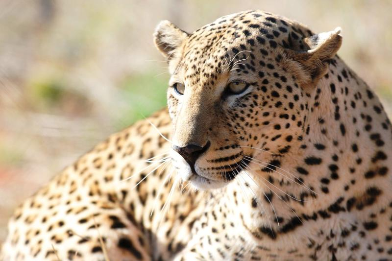 Luipaard bij Okonjima Nature Reserve Namibië