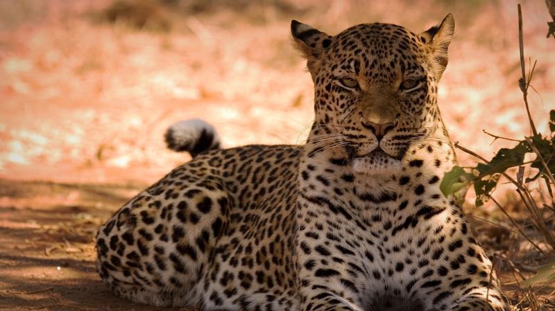 Luipaard in Mana Pools National Park Zimbabwe