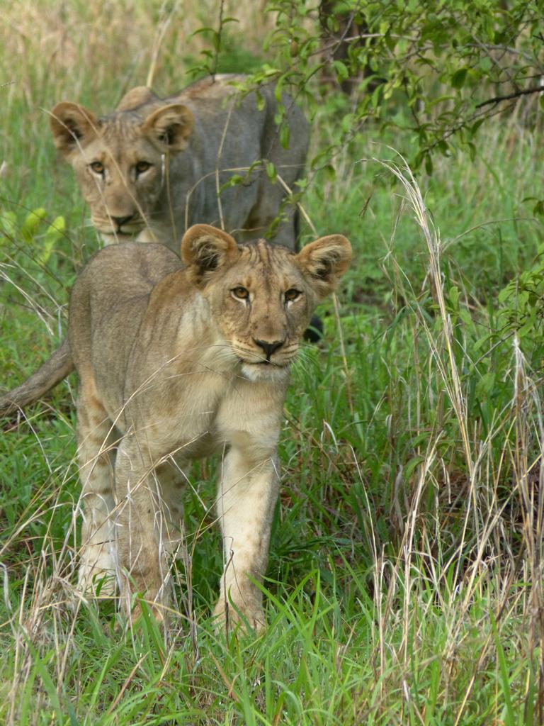 Leeuwen welpen in Majete Wildlife Reserve Malawi (@Anna van Kemenade)